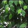 Ficus Bäume