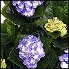 künstliche Hortensien