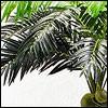 Cocos-Palmen