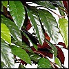 Capensia - Red-Ficus