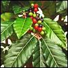 Kaffeebäume