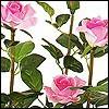 Rosenbäume - Rosenpflanzen