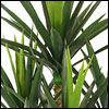 Yucca Pflanzen