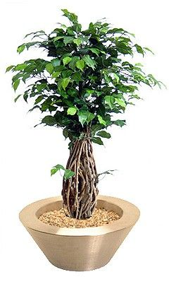 Ficus-Liana Bonsai   ca. 100cm getopft (Schale nicht im Lieferumfang)