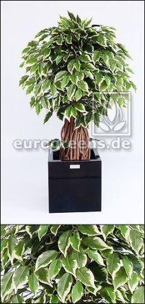 Kunstpflanze Ficus-Liana Bonsai   ca. 100cm