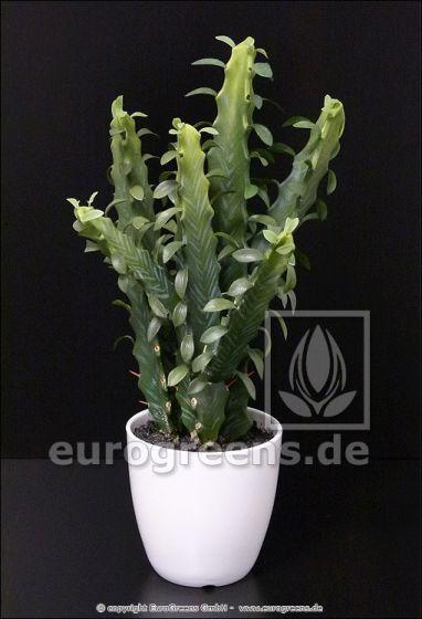 künstliche Euphorbia 40cm
